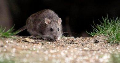 2020 05 20 salud Ratas